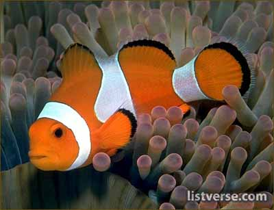 mating and gender of the clownfish Breeding clown fish, breeding the clarkii clown fish, clown fish species, and   then, the largest (and most dominant) of any group undergoes a sex change,.