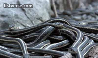 Red Sided Garter Snakes