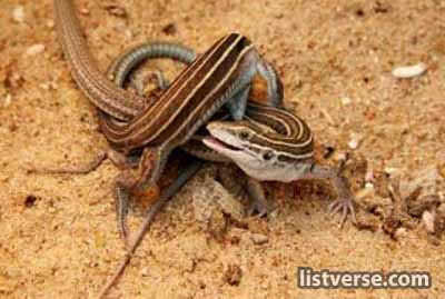 Whiptail-Lizard-Sex